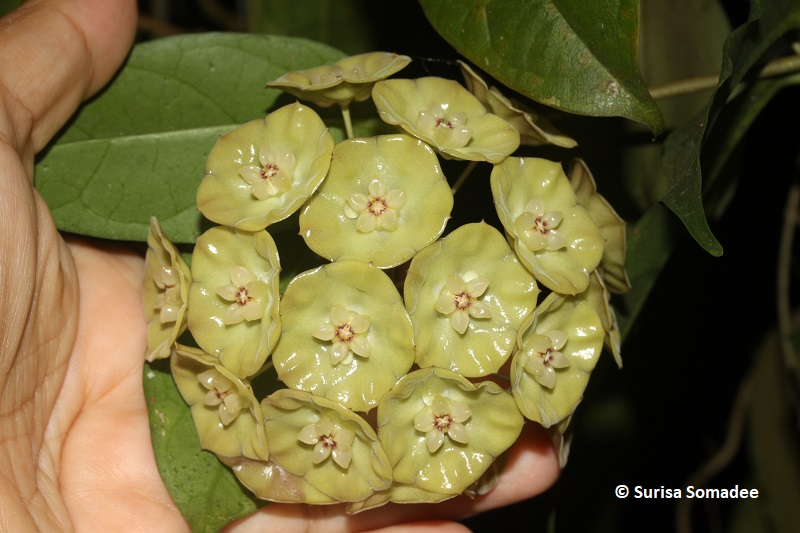 Hoya sp. indonesia cup shape with yellow flower -01