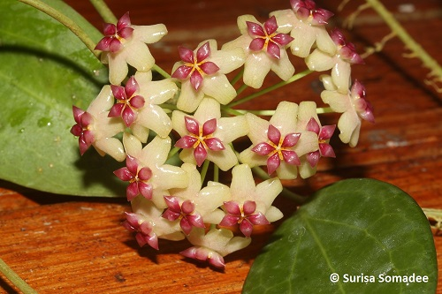 Hoya sp. surigao de sur-04-grow in shadow